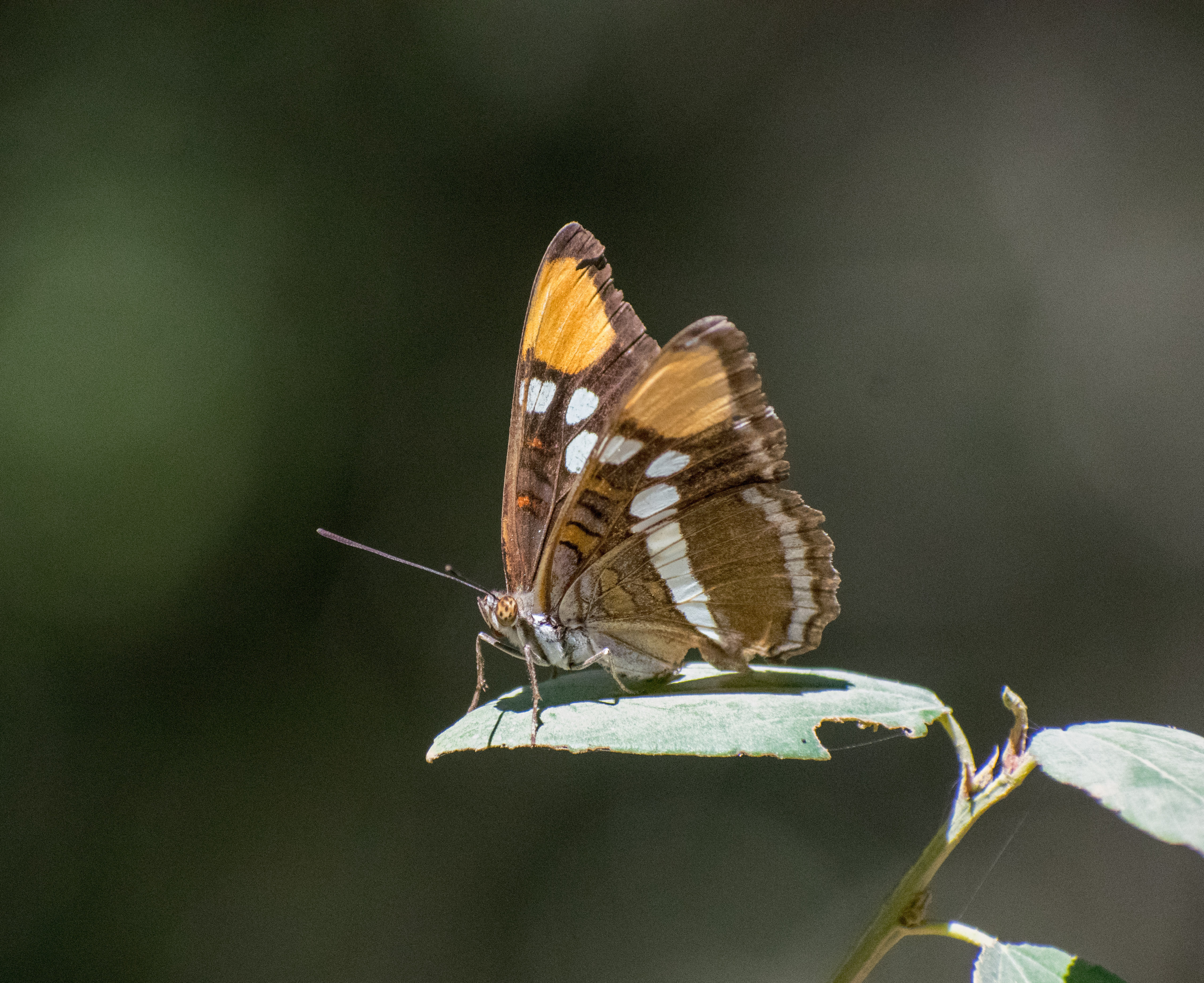 Close up photo of a the Mormon metalmark butterfly