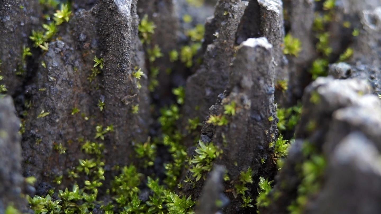 Moss growing on volcanic rock