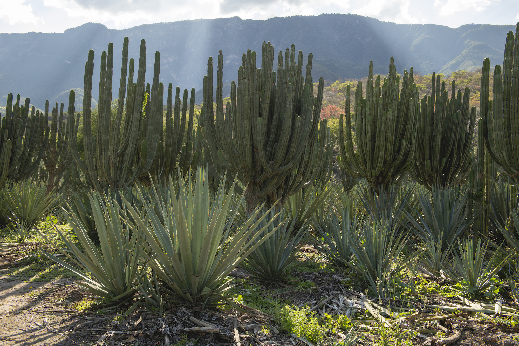 Intercropping of agave and columnar cacti near Las Canoas in Jalisco, Mexico
