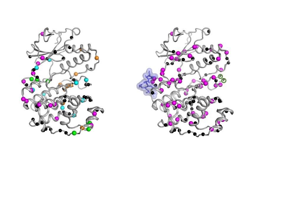 The inactive form  of the MAPK p38 enzyme moves in an uncoordinated fashion. Once the necessary molecules  bind, the enzyme becomes active  by moving in a coordinated fashion to do its job inside a cell.