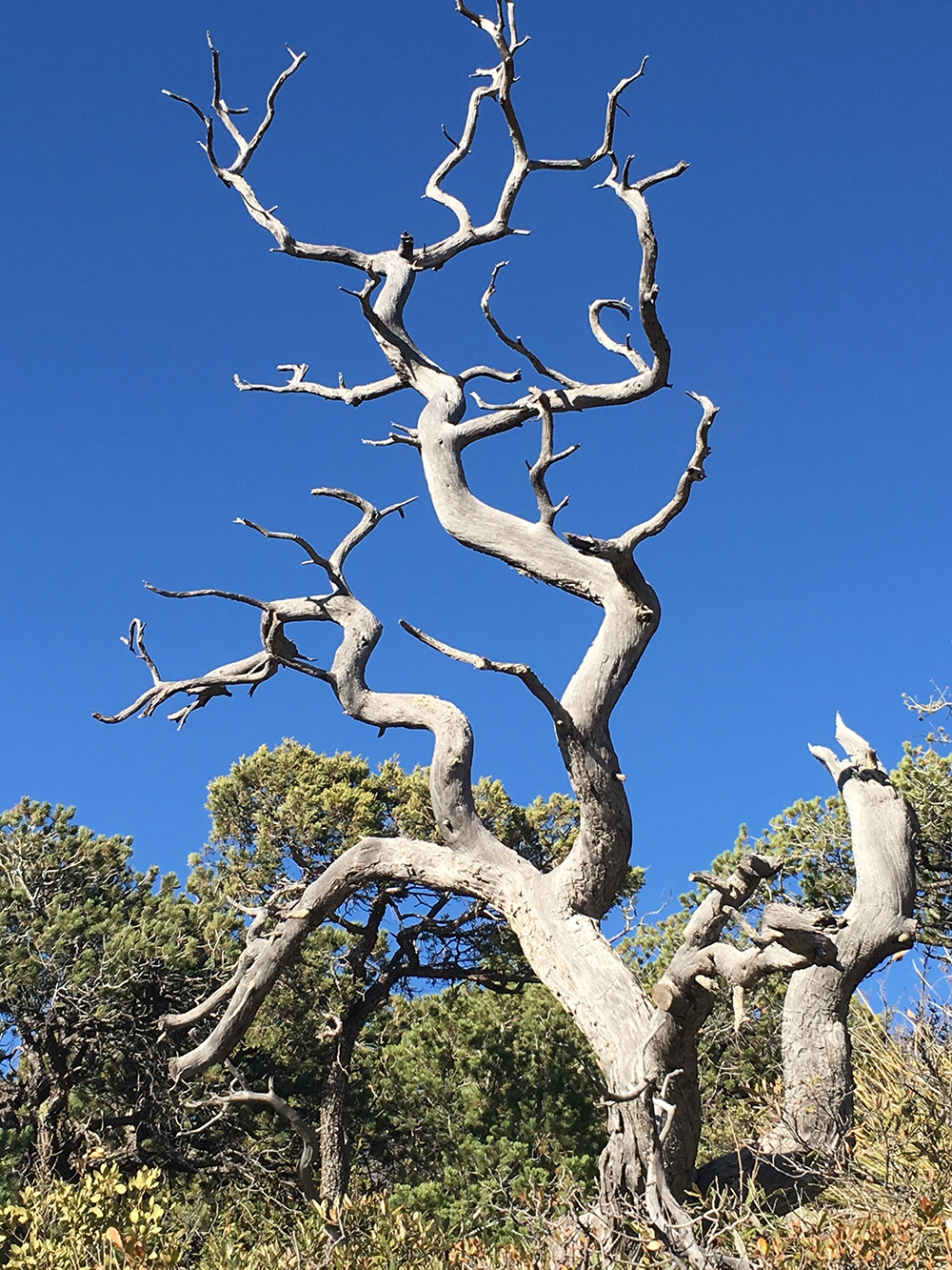 A dead Alligator Juniper from Arizona. Unable to cope with rising temperature extremes, repeated surveys have shown that this species is literally being pushed up the mountain slopes under the impact of climate change.