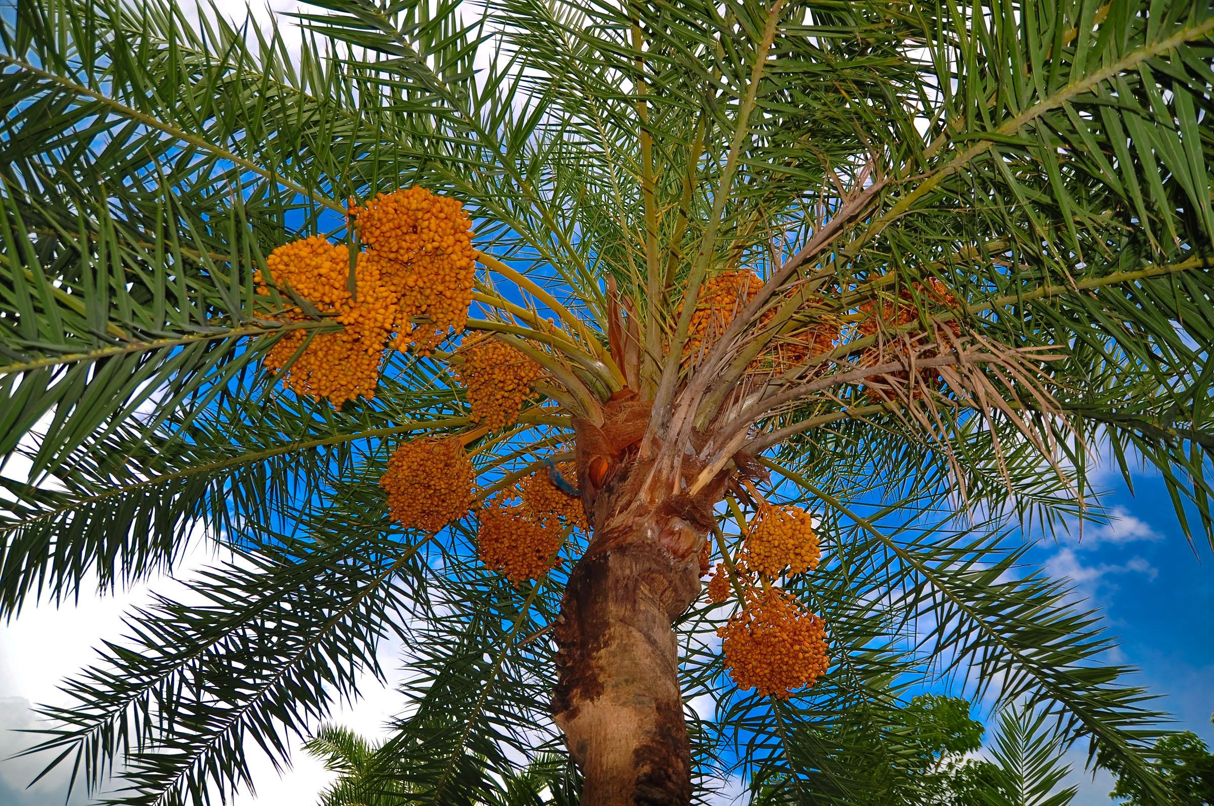 The date palm tree is the focus of One Million Date Palm Trees Project in Oman, where the crop plays an important role in the cultural history and economy of the country.