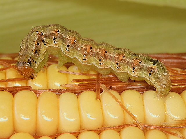 """A major agricultural pest, the moth Helicoverpa zea and its caterpillar go by many common names, depending on the crop they feed on: Shown here is a """"corn earworm."""""""