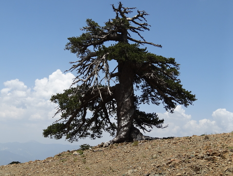 This Bosnian pine, dubbed Adonis, is the oldest known living tree in Europe. The tree is more than 1,075 years old. (Photo: Oliver Konter/University of Mainz, Germany)