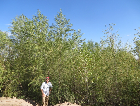 Hector Zamora, a monitoring team member and doctoral candidate in the UA Department of Geosciences, at a site that was cleared in advance of the pulse flow. The willows pictured here germinated after the pulse flow. (Photo: Karl W. Flessa/UA Department of Geosciences)