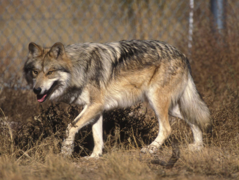The Mexican wolf has been listed as an endangered species since 1976. (Photo: U.S. Fish and Wildlife Service)