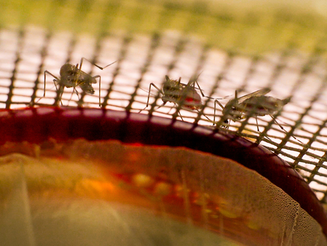 Mosquito test subjects in Michael Riehle's lab in the College of Agriculture and Life Sciences (Photo: Bob Demers/UANews)