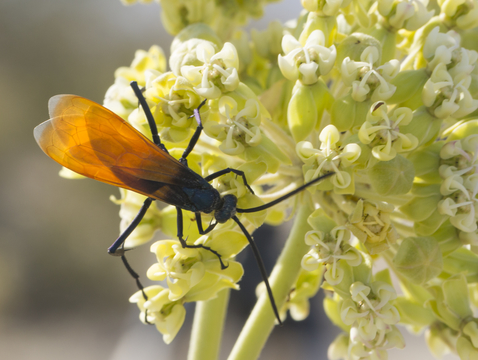 As adults, tarantula wasps dine on nectar-laden flowers. As larvae, they are of much darker culinary preference. (Photo courtesy of Joshua Tree National Park)