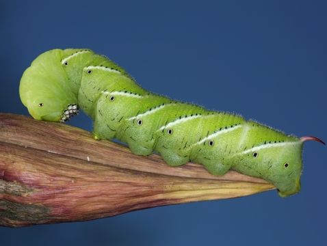 A caterpillar of the tobacco hornworm moth (Manduca sexta), used in the study. (Photo: Daniel Schwen/Wikimedia Commons)