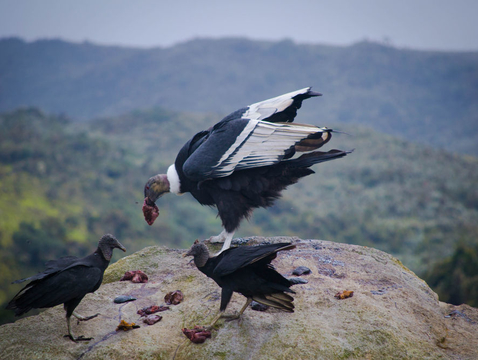 Black vultures and Andean condors are carnivorous birds that specialize on consuming carrion. (Photo: Cristian Román-Palacios/University of Arizona)