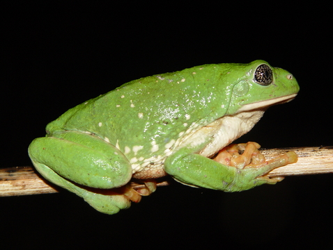 A Mexican leaf frog, photographed near Alamos, Mexico. Both plant and animal species in the tropics, like this frog, were found to occur over a narrower range of temperatures than temperate species, which may make tropical species much more vulnerable to climate change. (Photo: John J. Wiens)