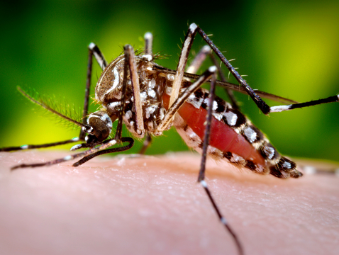A female Aedes aegypti mosquito in the process of acquiring a blood meal from a human host. (Photo: Frank Hadley Collins/CDC)