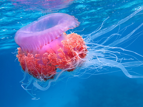 Jellyfish, polyps and the like belong to a phylum called Cnidaria, one of about 30 major groups that make up the animal kingdom. (Photo: Chai Seamaker/Shutterstock)