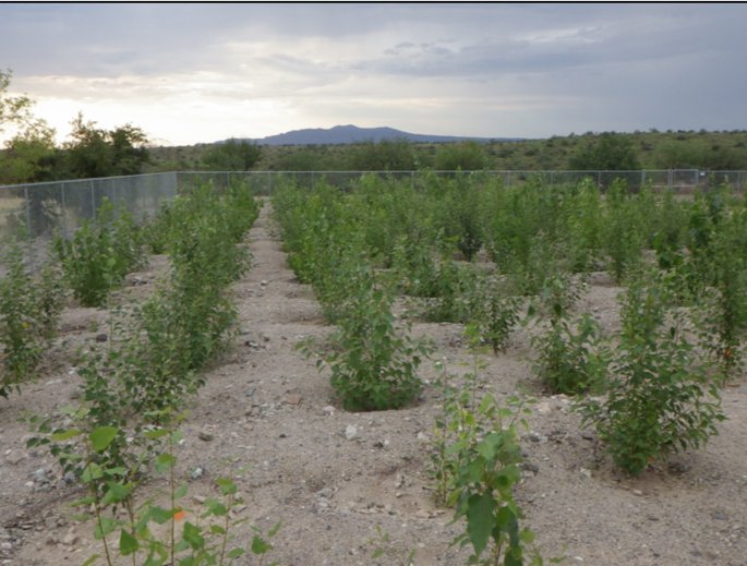 Poplar trees are fast-growing trees that are a source of biofuel and other products including paper, pallets, plywood and furniture frames. (Photo: David J.P. Moore)
