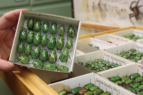 Cardboard boxes with jewel scarabs sorted by species