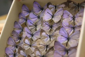 The UA Insect Collection contains species of beetles, butterflies, mayflies and other insects. (Photo credit: Beatriz Verdugo/UANews)