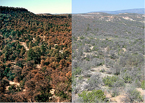 These photos show the massive die-off of pinyon pines that occurred during the recent drought. Pinyons, normally evergreen, have reddish-brown foliage in October 2002 (left). By May 2004, the dead pinyons have lost all their needles, exposing gray trunks. The photos were taken from the same vantage point in the Jemez Mountains near Los Alamos, N.M. Photo credit: Craig D. Allen, U.S. Geological Survey.