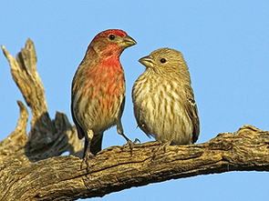 This picture of a pair of house finches shows the bright breeding plumage of the male (left) and the plainer plumage of the female (right). Photo credit: Alex Badyaev.