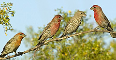 Three male house finches, all with slightly different red mating plumage, strut their stuff in front of a female house finch (second from the right). Photo credit: Alex Badyaev.