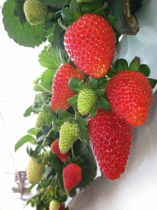 Strawberries ripen in the UA strawberry project greenhouse. (Photo by Chieri Kubota)