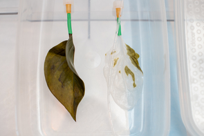 A regular spinach leaf (left) and one that is being decellularized. In the lab, all traces of plant cells, DNA and proteins are removed through a process called decellularization. Different types of cells then are used to repopulate the skeleton of the leaf and recellularize the leaf's surface.
