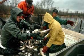 Employees of the Red Lake Band of Chippewa's Department of Natural Resources assess the walleye in Red Lake. (Photo: Red Lake Department of Natural Resources)