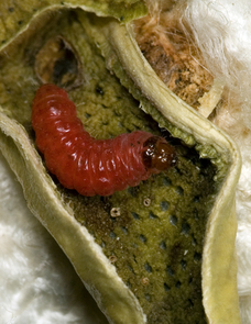 A pink bollworm caterpillar emerges after devouring seeds inside a cotton boll. (Photo courtesy of Alex Yelich)