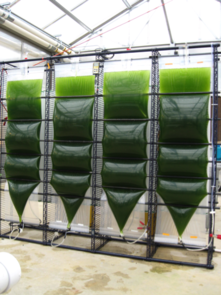 Joel Cuello has developed the patented Accordion photobioreactor design to grow algae under precisely controlled conditions. (Photo: Joel Cuello)