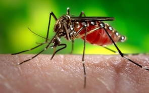 The Aedes aegypti mosquito, carrier of the Zika virus