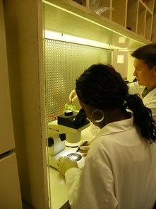 (Click to enlarge) Undergraduate Akua Minta and postdoctoral research associate John Laurie dissecting maize endosperm. (Credit: Larkins-Yadegari Labs)