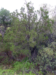 Today, living alligator juniper first begin to make an appearance on upland slopes of the Catalina Mountains at around 5000 feet elevation... (Photo: Rick Brusca)