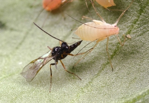 """A parasitic Aphidius wasp descends on its victim: a pea aphid. The wasp thrusts its abdomen forward between the legs to inject an egg into the tiny insect. """"It all happens in an instant,"""" said Molly Hunter of the UA's department of entomology. (Photo: Alex Wild)"""