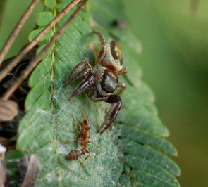 (Click to enlarge) Adult female Bagheera kiplingi defends her nest against acacia-ant worker. (Credit: Copyright Robert L. Curry)