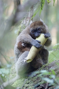 The lemurs are being forced to rely on bamboo culm, a suboptimal part of their diet, for longer periods of the year. (Photo: Jukka Jernvall/University of Helsinki)