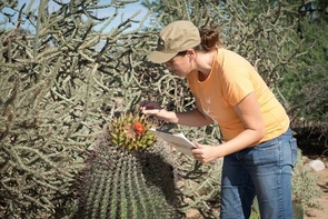 Observations of phenology, such as flowering of barrel cactus noted by Alyssa Rosemartin from USA-NPN, are submitted to the National Phenology Database and used by scientists and resource managers. (Photo credit: Brian F. Powell)