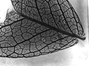 A leaf from Sophora arizonica, the Arizona necklacepod, displays a network of veins that control vital functions of the plant. (Photo by Tuan Cao)