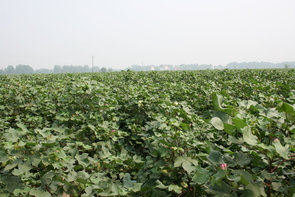 "Cotton cropping systems in China, such as the patchwork of farms along the Yangtze River Valley, are quite different from the large-scale systems used for cotton in the U.S. and Australia. ""In China, there are many small-scale mixed plantings of cotton, corn, soybean, peanut and other crops that are owned and managed by individual small farmers,"" says Kongming Wu, who worked with Bruce Tabashnik on the project. (Photo: Peng Wan)"