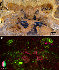 A: Under a light microscope, the above fossil shows traces of preserved neural tissues in black. B: An elemental scan of this fossil uncovered that carbon (in pink) and iron (in green) do not overlap in the preserved neural tissue. (Images courtesy of Strausfeld et al. and Current Biology)