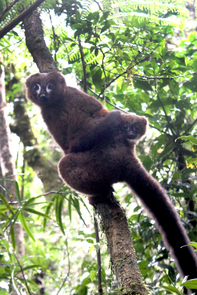 A lemur dad carries his infant through the treetops in Madagascar's Ranomafana National Park. (Photo: Pierre Lahitsara)
