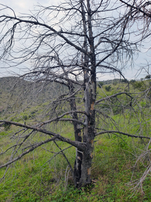 ...However, below 5,000 feet, hundreds of dead juniper attest to a former range much lower down on the mountain, reflecting cooler and wetter years of the past. (Photo: Wendy Moore)