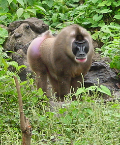 Island-specific strains of the simian immunodeficiency virus, which infects monkeys such as the Bioko Drill, revealed the virus has been around thousands of years longer than previously thought. (Photo: Preston Marx, Tulane University)