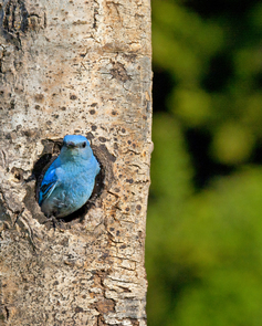 Female bluebirds depend on nesting cavities they find in forested areas recently burned by wildfire. (Photo: Alex Badyaev/tenbestphotos.com)