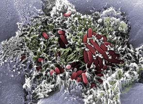 Like dust grains embedded in a fluffy carpet, EHEC bacteria (red) thrive in the intestines of humans and animals, where they attach themselves to the thread-like outgrowths of gut cells (green). (Photo courtesy of Maria A. Rendon/UA BIO5 Institute)