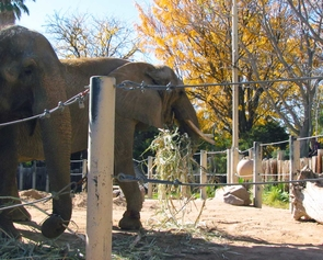 Two elephant ladies call Reid Park Zoo their home. Connie (left), who is 43, is an Asian Elephant, and Shaba (31) is an African Elephant. (Photo: Jed Dodds)