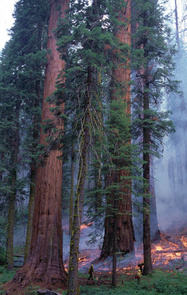 (Click to enlarge) A prescribed burn conducted in July 2001 in the Giant Forest of Sequoia National Park. (Credit: Tony C. Caprio)
