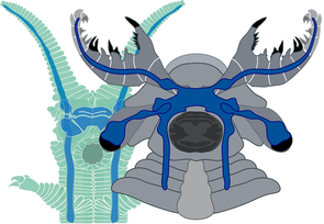 A side-by-side comparison reveals the similarity between the brain of a living onychophoran (green) and that of the anomalocaridid fossil Lyrarapax unguispinus (gray). Long nerves from the frontal appendages extend to paired ganglia lying in front of the optic nerve and connect to the main brain mass in front of the mouth. Anomalocaridids had a pair of clawlike grasping appendages instead of feelers. (Illustration by Nicholas Strausfeld)