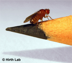 A fruit fly on a pencil tip. (Photo: Katherine E. White & Dickon M. Humphrey, Hirth Lab/KCL)