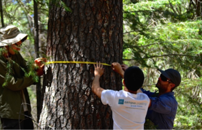 Members of Enquist's research team measure a tree trunk in an Oregon forest.