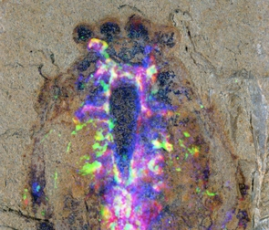 Close-up of the head region of the Alalcomenaeus fossil specimen with the superimposed colors of a microscopy technique revealing the distribution of chemical elements in the fossil. Copper shows up as blue, iron as magenta and the CT scans as green. The coincidence of iron and CT denote nervous system. The creature boasted two pairs of eyes (ball-shaped structures at the top). (Photo: N. Strausfeld/UA)