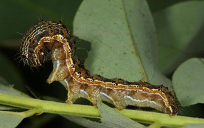 Caterpillars of the cotton bollworm, Helicoverpa armigera, feed on many different plants and pose a serious threat to cotton farming. (Photo by Gyorgy Csoka)